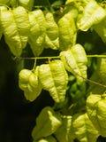 Golden Rain tree, Koelreuteria paniculata, unripe seed pods close-up, selective focus, shallow DOF Stock Photo