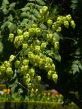Golden Rain tree, Koelreuteria paniculata, unripe seed pods close-up, selective focus, shallow DOF Stock Photos