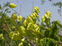 Golden Rain tree, Koelreuteria paniculata, unripe seed pods close-up, selective focus, shallow DOF Royalty Free Stock Photography