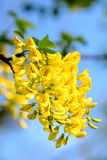 Golden rain tree Laburnum anagyroides Royalty Free Stock Photo