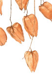Golden Rain tree seed pods (koelreuteria paniculata). On white background Royalty Free Stock Photography