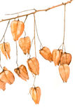 Golden Rain tree seed pods (koelreuteria paniculata). On white background Stock Image