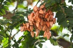 Golden Rain tree seeds pods in tree - Koelreuteria Paniculata. Closeup of Golden Rain tree seeds pods in tree - Koelreuteria Paniculata royalty free stock photo