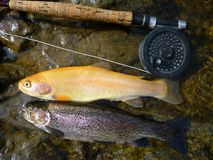 Golden and Rainbow Trout Royalty Free Stock Photography
