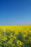 Golden rape field Stock Image