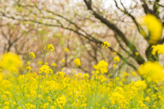 Rape flower Stock Image