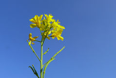 Golden flowers. Mustard plant ( plant) against blue sky stock photo