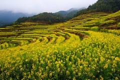 The golden rape flowers terraced fields on the hillside Royalty Free Stock Photography