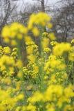The Golden Rape flowers Royalty Free Stock Photo