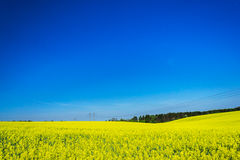 Golden rapeseed field under the blue sky. Stock Images