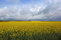 Golden rapeseed fields Stock Images
