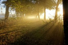Golden Rays Beaming through a Path of Trees. A classical sun filled morning image of a path through farm fields illumined in the morning fog by gold rays of the Stock Image