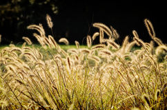 Golden Rays of Bristlegrass Stock Photo