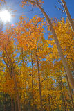 Golden Red Aspen leaves illuminated by the Fall Sun royalty free stock images