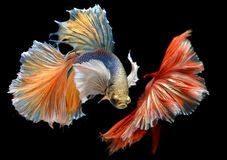 Golden red Colorful  waver of Betta Saimese fighting fish Royalty Free Stock Images