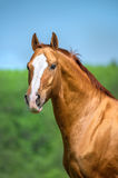 Golden red Don horse portrait in summer time Royalty Free Stock Photo