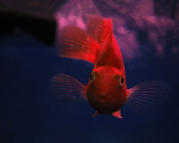 Golden red fish underwater sweaming away near rocks face por Stock Photos