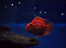 Golden red fish underwater sweaming away near rocks under th Royalty Free Stock Photos