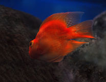 Golden red fish underwater sweaming away near the rocks view fro Royalty Free Stock Photo