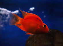 Golden red fish underwater sweaming away near rocks view fro Royalty Free Stock Images