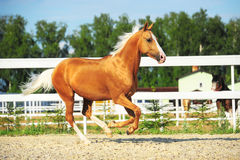 Golden red horse runs gallop Royalty Free Stock Image