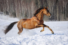 Golden red horse runs gallop in winter time royalty free stock photo