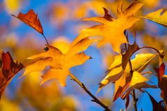 Golden red leaves with a blue sky background Royalty Free Stock Images