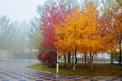 The golden and red leaves of trees in fog Royalty Free Stock Photos