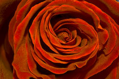 Golden red rose Stock Images