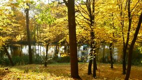 Golden red-tipped leaves flutter in the wind in an autumnal forest beside a lake. Golden leaves in the wind forest lake stock footage