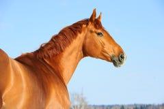 Golden red trakehner horse portrait. In winter Stock Photo