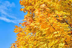 Golden, red, yellow and green maple leaves on a tree Stock Photo