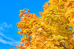 Golden, red, yellow and green maple leaves on a tree Royalty Free Stock Photography