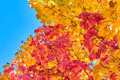 Golden, red, yellow and green maple leaves on a tree Stock Photos