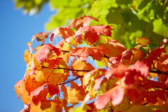 Golden, red, yellow and green maple leaves on a tree Royalty Free Stock Images