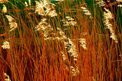 Golden Reed Stock Images