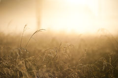 Golden Reed in a beam of sunlight Stock Photo