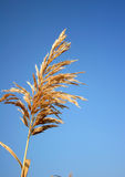 Golden reed on blue sky Royalty Free Stock Photo