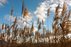 Free Golden Reed Field Stock Images - 61220624