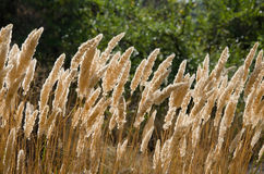Golden reed Royalty Free Stock Image