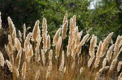 Golden reed Royalty Free Stock Photos