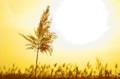 Golden Reed Stock Image