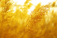 Golden Reed Stock Photo