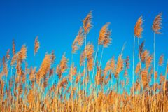 Golden Reeds against sun and blue sky. Reeds near the lake. Back stock photo