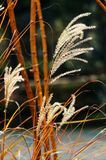 Golden reeds in autumn. Golden reeds in the park Stock Photo