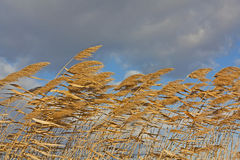 Golden Reeds blowing in the wind. Golden coloured reeds blowing in the wind against a textured cloudy sky Stock Images