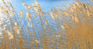Golden reeds Royalty Free Stock Photos
