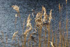Golden reeds at a lake Royalty Free Stock Photo
