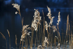 Golden reeds at a lake Stock Photography