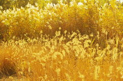 Golden reeds in sunshine Royalty Free Stock Images